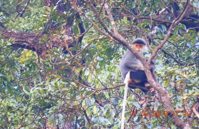 Nhiều đàn Voọc ngũ sắc mới xuất hiện tại Vườn Quốc gia Bạch Mã - 14