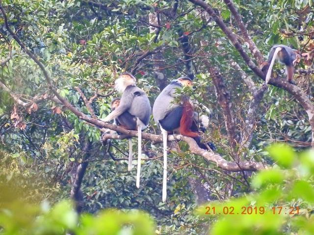 Nhiều đàn Voọc ngũ sắc mới xuất hiện tại Vườn Quốc gia Bạch Mã - 11