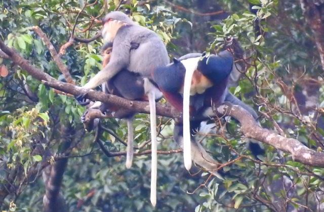 Nhiều đàn Voọc ngũ sắc mới xuất hiện tại Vườn Quốc gia Bạch Mã - 13