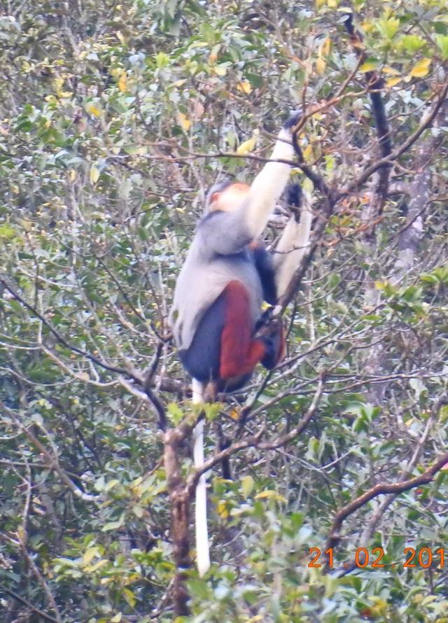 Nhiều đàn Voọc ngũ sắc mới xuất hiện tại Vườn Quốc gia Bạch Mã - 15