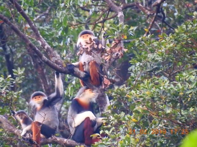 Nhiều đàn Voọc ngũ sắc mới xuất hiện tại Vườn Quốc gia Bạch Mã - 1