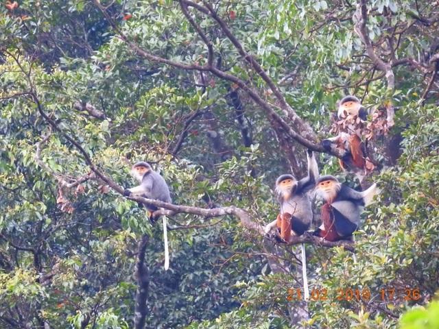 Nhiều đàn Voọc ngũ sắc mới xuất hiện tại Vườn Quốc gia Bạch Mã - 5