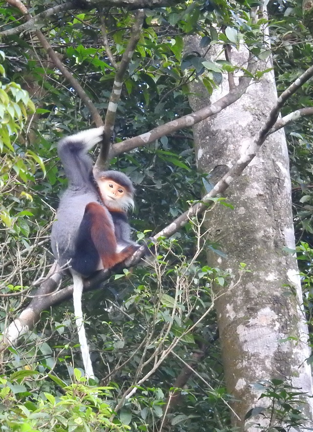 Nhiều đàn Voọc ngũ sắc mới xuất hiện tại Vườn Quốc gia Bạch Mã - 3