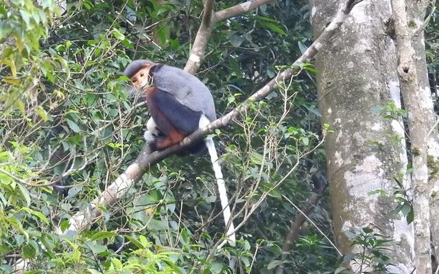 Nhiều đàn Voọc ngũ sắc mới xuất hiện tại Vườn Quốc gia Bạch Mã - 9