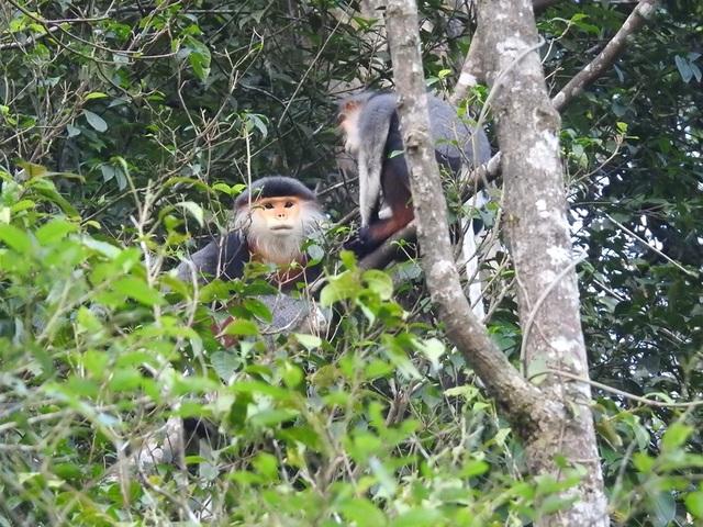 Nhiều đàn Voọc ngũ sắc mới xuất hiện tại Vườn Quốc gia Bạch Mã - 6