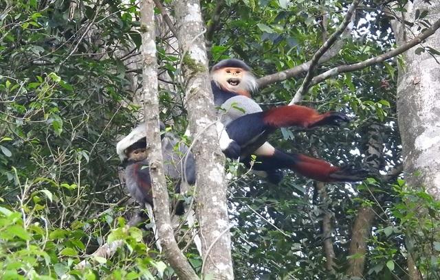 Nhiều đàn Voọc ngũ sắc mới xuất hiện tại Vườn Quốc gia Bạch Mã - 7