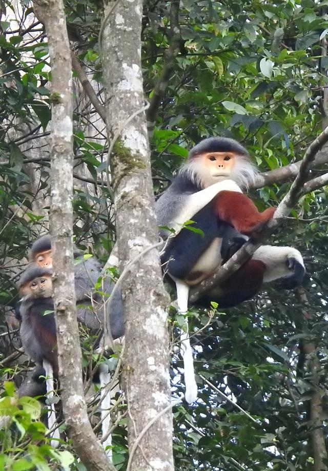 Nhiều đàn Voọc ngũ sắc mới xuất hiện tại Vườn Quốc gia Bạch Mã - 4