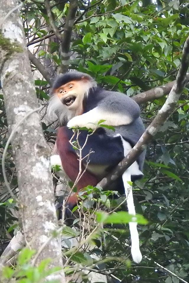 Nhiều đàn Voọc ngũ sắc mới xuất hiện tại Vườn Quốc gia Bạch Mã - 16