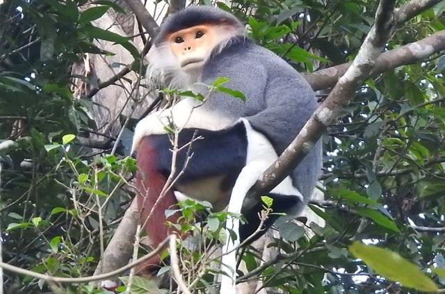 Nhiều đàn Voọc ngũ sắc mới xuất hiện tại Vườn Quốc gia Bạch Mã - 8