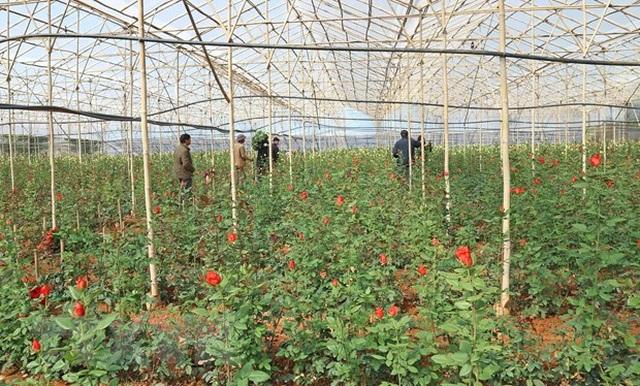 Lâm Đồng: Những triệu phú hoa hồng dưới chân núi Langbiang - 1