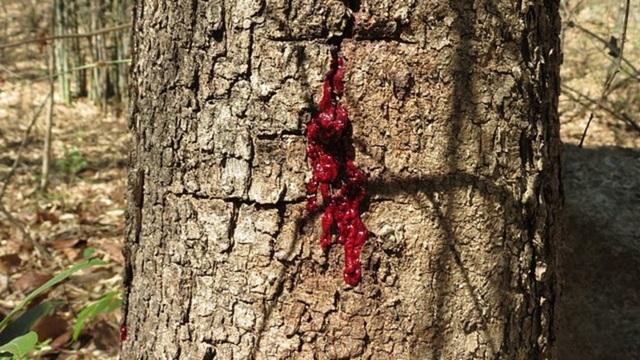 """""""Rùng mình"""" loài cây chảy máu giống con người! - 4"""