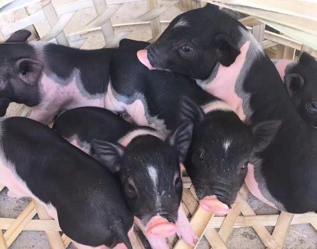 Boss lợn Trung Quốc 1,5 triệu đồng/kg: Cô sen Hà thành xịt nước hoa, dắt dạo phố - 2