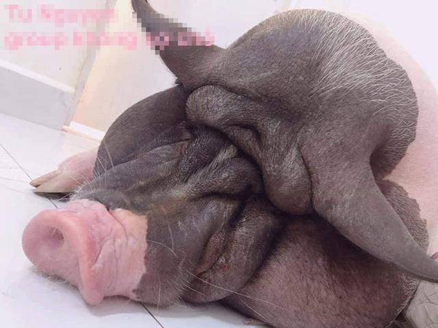 Boss lợn Trung Quốc 1,5 triệu đồng/kg: Cô sen Hà thành xịt nước hoa, dắt dạo phố - 6