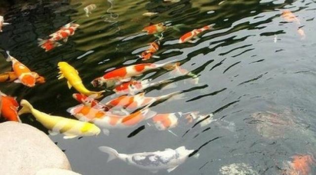 Kiếm tỷ đồng dễ như chơi nhờ nuôi loài cá nghìn đô - 1
