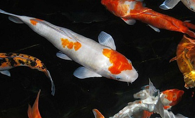 Kiếm tỷ đồng dễ như chơi nhờ nuôi loài cá nghìn đô - 2