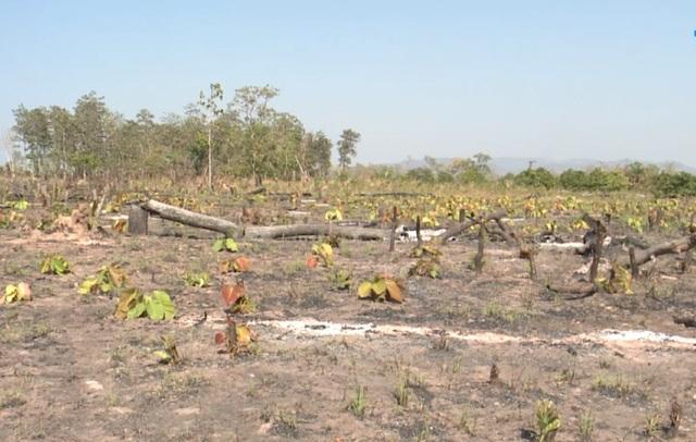 Phá rừng hơn 7ha làm nương rẫy, một đối tượng bị bắt giữ - 2