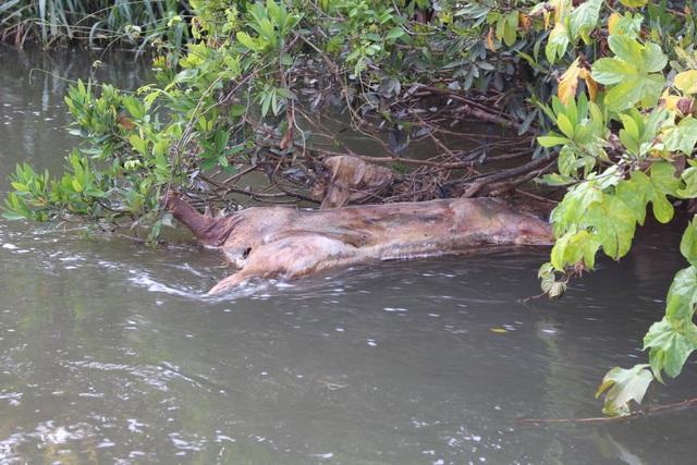 Dịch lở mồm long móng bùng phát, suối ô nhiễm vì nhiều xác heo  - 1