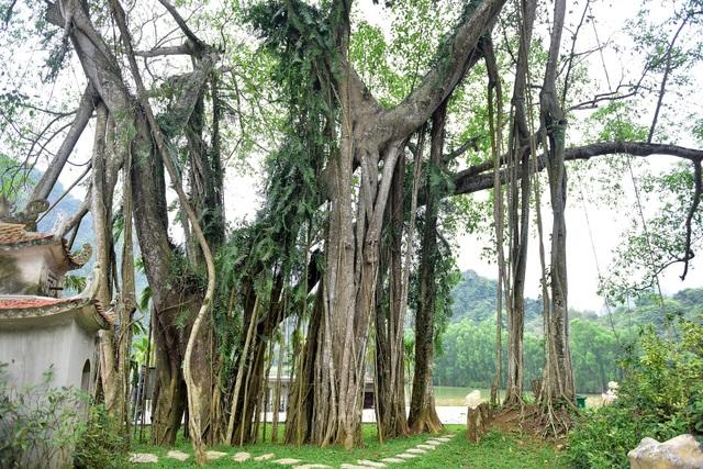 Kỳ lạ cây đa di chuyển ở Ninh Bình - 4