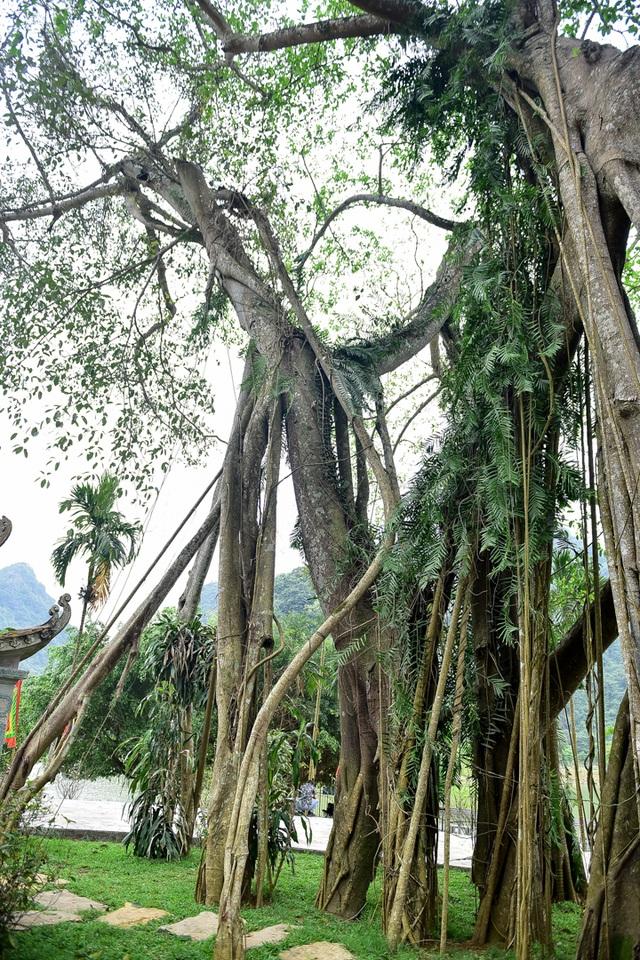 Kỳ lạ cây đa di chuyển ở Ninh Bình - 6