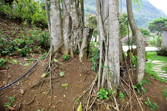 Kỳ lạ cây đa di chuyển ở Ninh Bình - 5