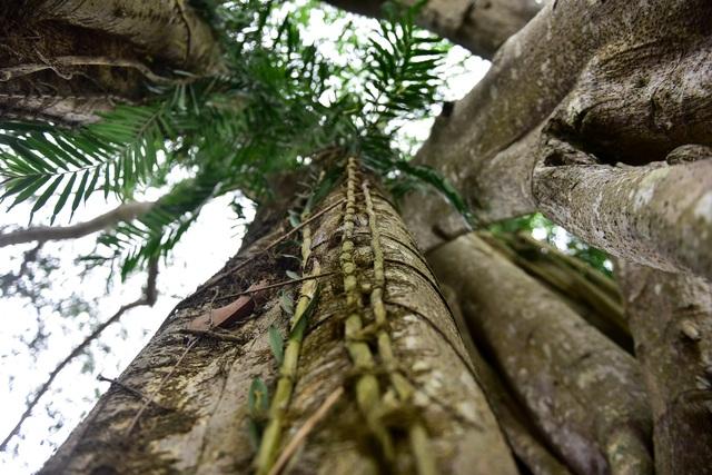 Kỳ lạ cây đa di chuyển ở Ninh Bình - 10