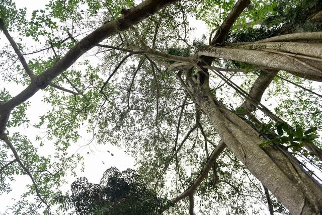Kỳ lạ cây đa di chuyển ở Ninh Bình - 12