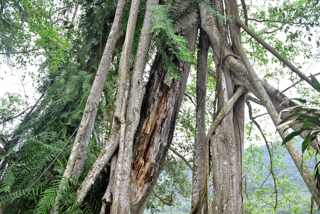 Kỳ lạ cây đa di chuyển ở Ninh Bình - 9