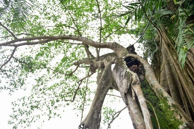 Kỳ lạ cây đa di chuyển ở Ninh Bình - 8