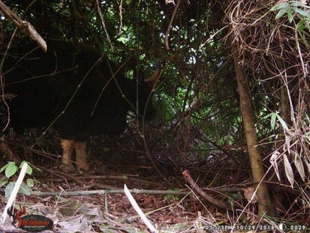 Phát hiện nhiều cá thể bò tót trong VQG Phong Nha - Kẻ Bàng - 1