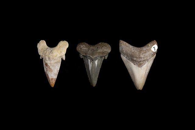 Siêu cá mập Megalodon tiến hóa hàng chục triệu năm để có bộ răng sát thủ - 1