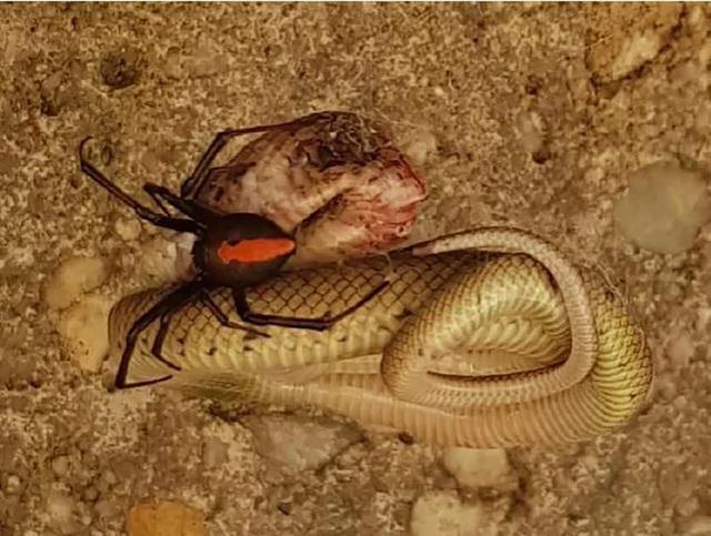Cận cảnh trận chiến hiếm gặp giữa nhện lưng đỏ cực độc và rắn nâu  - 1