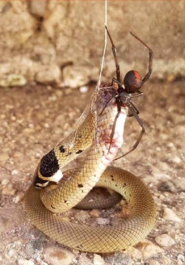 Cận cảnh trận chiến hiếm gặp giữa nhện lưng đỏ cực độc và rắn nâu  - 2
