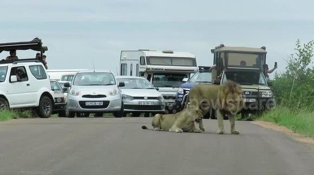 Cặp sư tử giao phối giữa đường khiến giao thông ách tắc cục bộ - 1