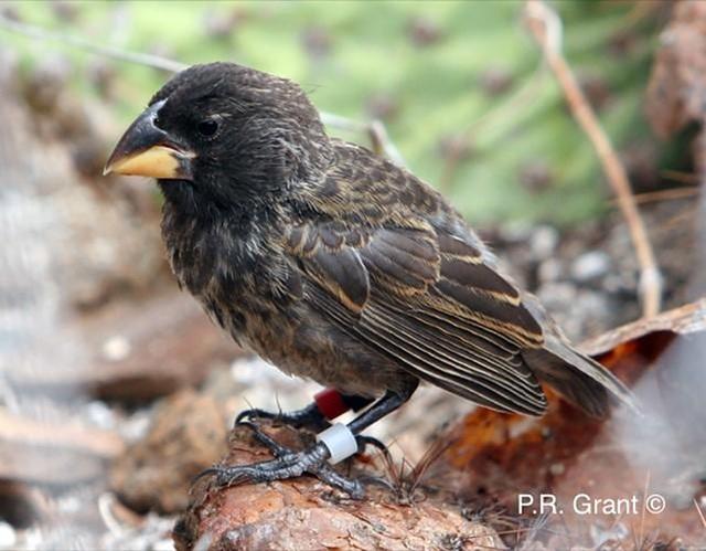Các nhà khoa học phát hiện một loài chim mới tiến hóa trên đảo Galapagos  - 1