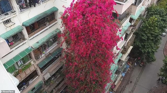 """Cây hoa giấy cổ thụ leo cao 30m lên nóc nhà cao tầng như """"thác nước""""  - 1"""