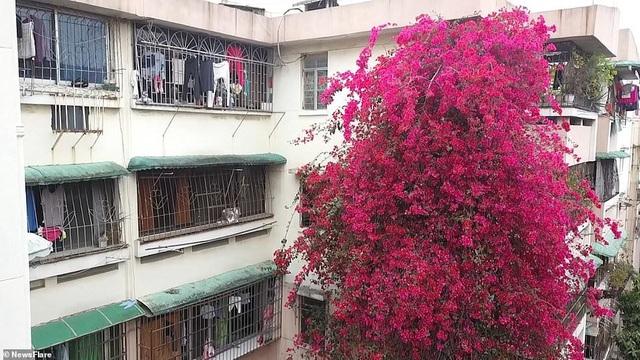 """Cây hoa giấy cổ thụ leo cao 30m lên nóc nhà cao tầng như """"thác nước""""  - 2"""