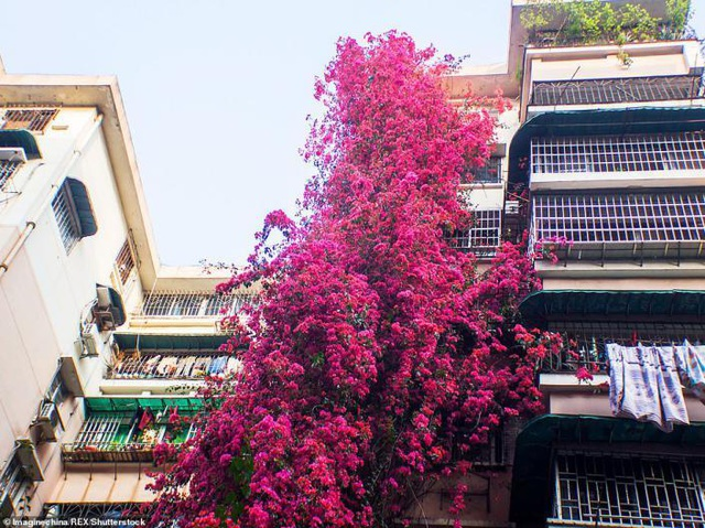 """Cây hoa giấy cổ thụ leo cao 30m lên nóc nhà cao tầng như """"thác nước""""  - 3"""