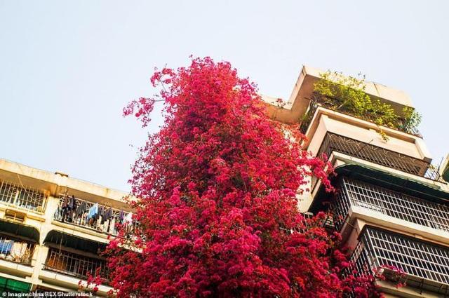 """Cây hoa giấy cổ thụ leo cao 30m lên nóc nhà cao tầng như """"thác nước""""  - 4"""