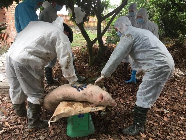 Quảng Ninh: Xuất hiện dịch tả lợn châu Phi, tỉnh ban hành công điện khẩn - 3