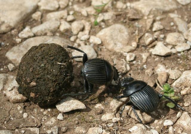 Người Ai Cập cổ đại từng nghĩ bọ hung mang bí mật về sự sống bất tử - 1