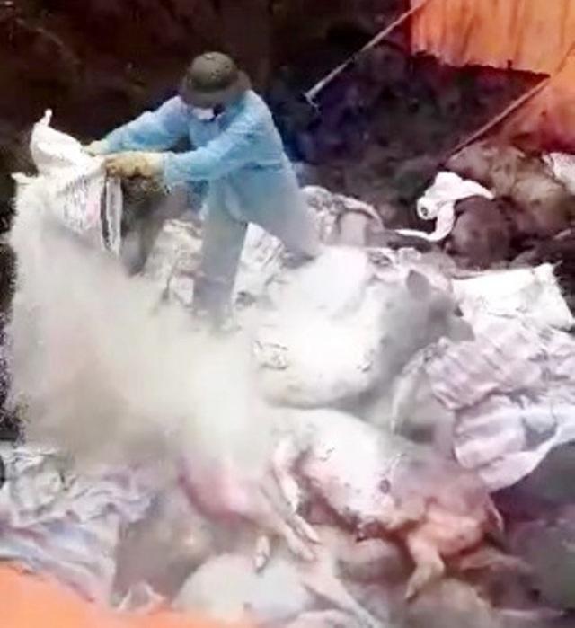 Ninh Bình: Cấp bách ngăn chặn dịch tả lợn châu Phi không lan rộng - 1