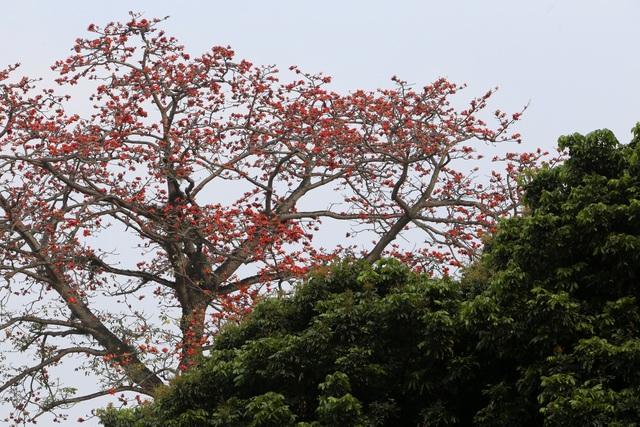 Hà Nội thơ mộng trong sắc đỏ hoa gạo - 13