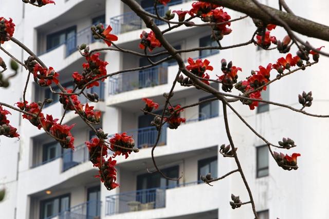 Hà Nội thơ mộng trong sắc đỏ hoa gạo - 14