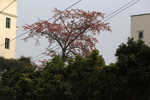 Hà Nội thơ mộng trong sắc đỏ hoa gạo - 3