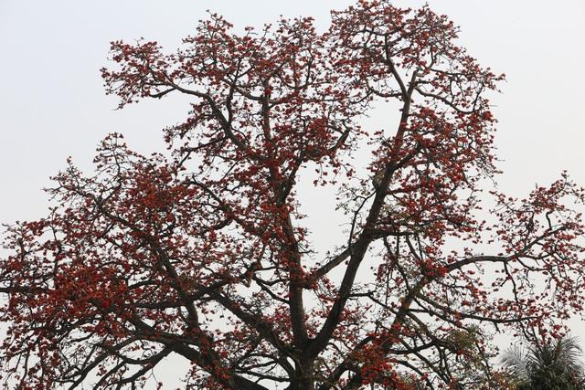 Hà Nội thơ mộng trong sắc đỏ hoa gạo - 5