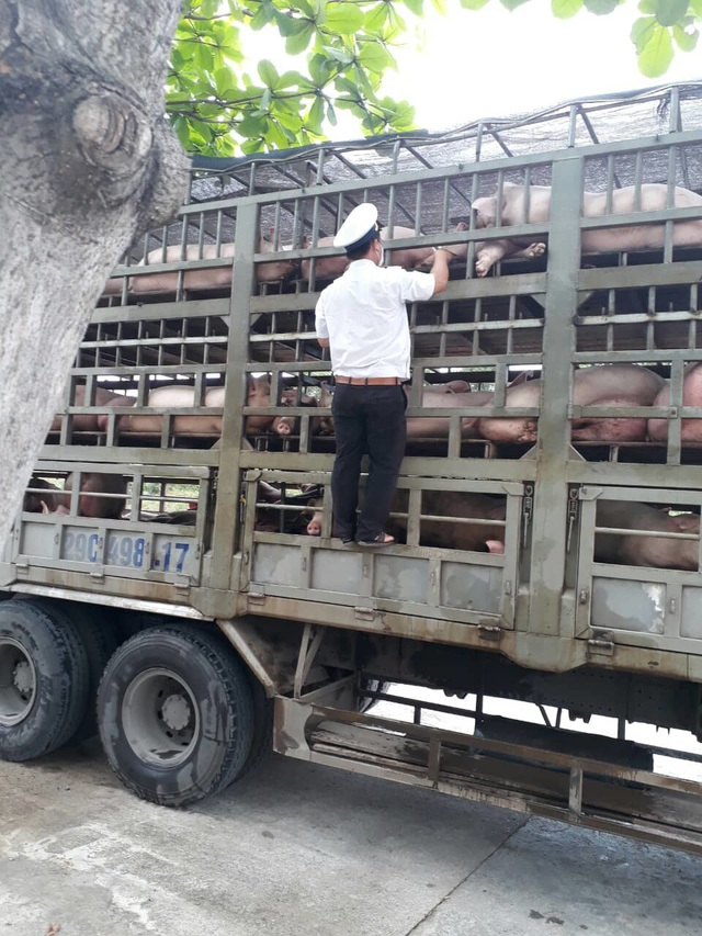 Dịch tả lợn châu Phi: Kiểm soát chặt chẽ các phương tiện vận chuyển lợn qua địa bàn Đà Nẵng - 1