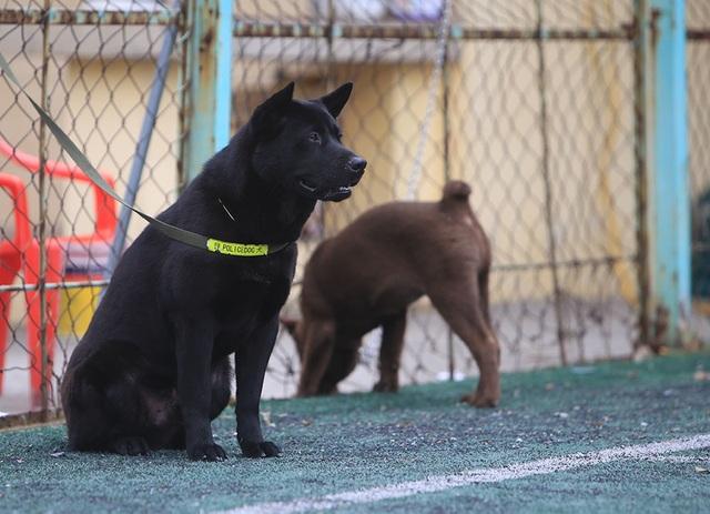 Hơn 250 chú chó bản địa tham gia hội thi sắc đẹp ở Hà Nội - 7