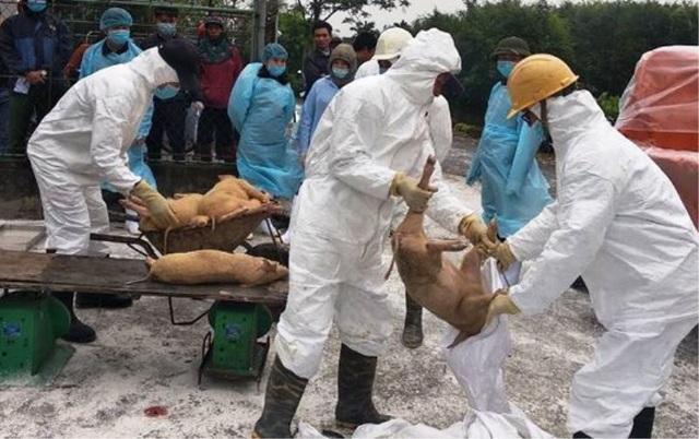 Xuất hiện dịch tả lợn châu Phi ở Nam Định - 1