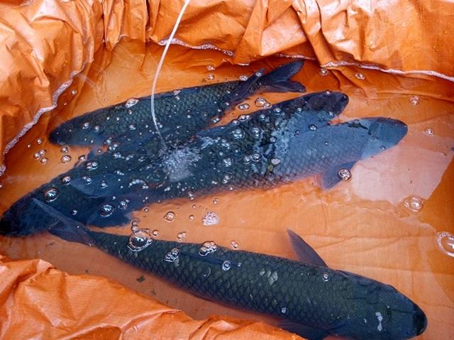 Ngăn hồ sông Đà nuôi cá, lãi hàng trăm triệu/năm - 3