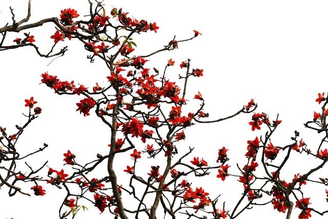 """Hoa gạo """"thắp lửa"""" khắp núi rừng Hương Sơn - 1"""